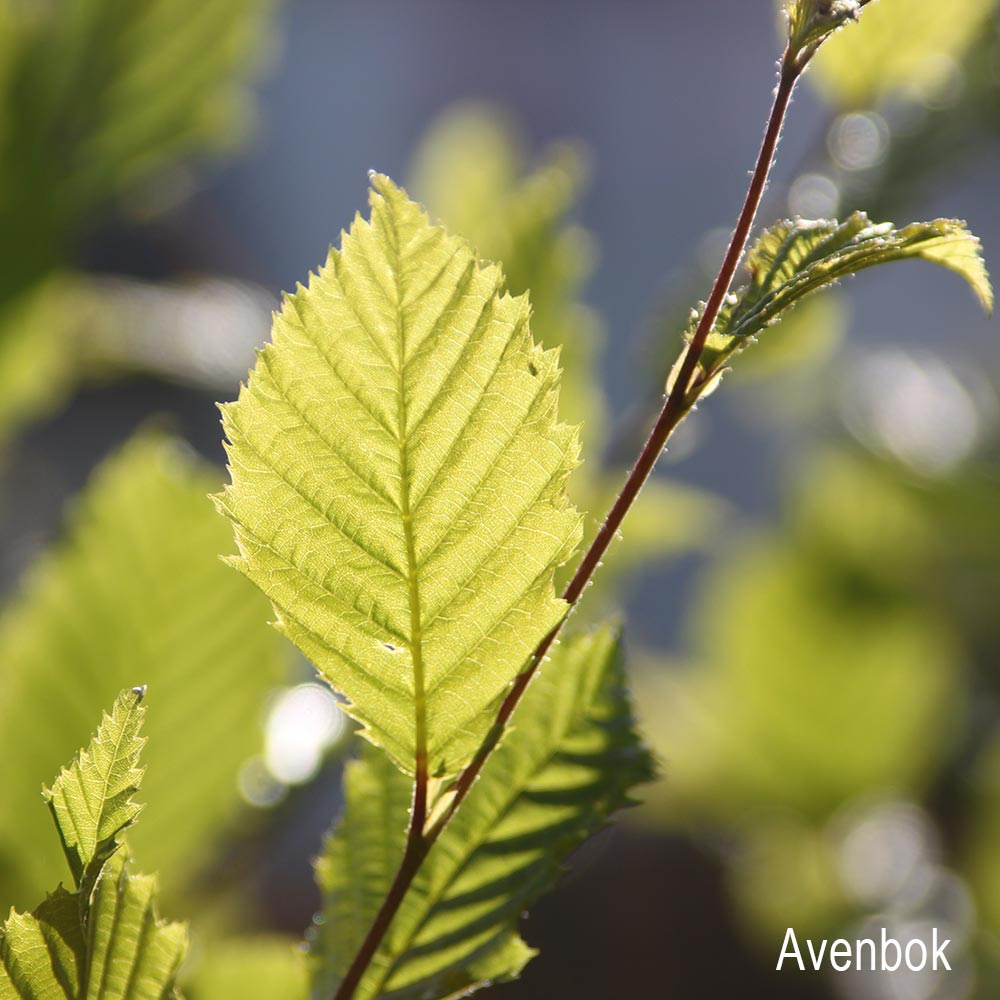 Avenbok_blatt_Detail-1.jpg